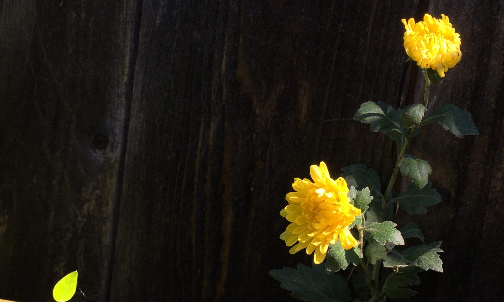 Như Hoa Ấu Tím
