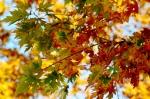 Nhánh sầu chín đỏ chờ ngày rụng rơi